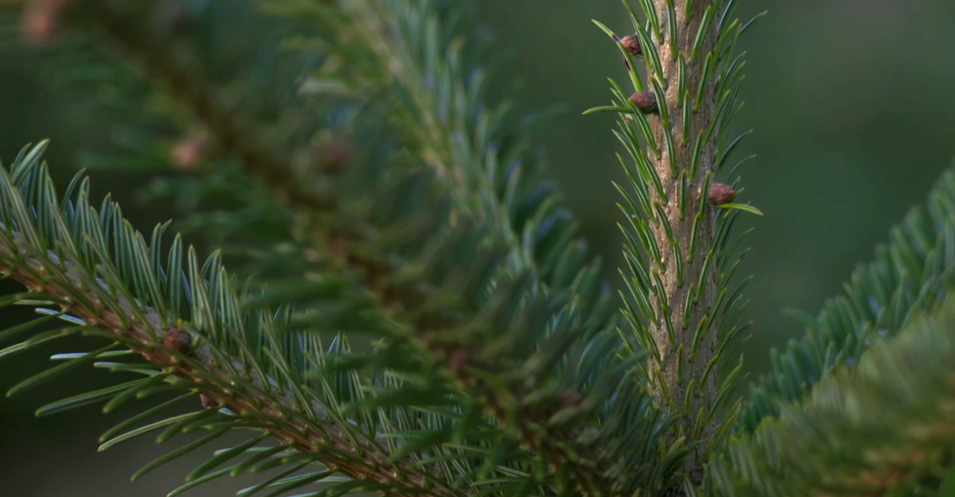 The finest Nordmann Excellent Christmas trees in Leiden from €15,00 onwards