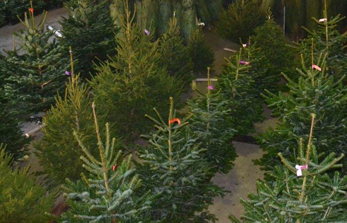 Nordmann Excellent Christmas trees